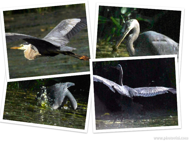 Heron Collage